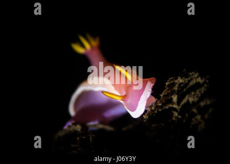 Hypselodoris apolegma is a species of colorful sea slug or dorid nudibranch, a marine gastropod mollusk in the family - Stock Photo