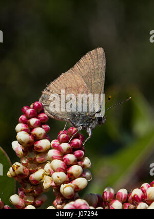 Moss Elfin butterfly (Callophrys mossii) on Sugar Sumac - Stock Photo