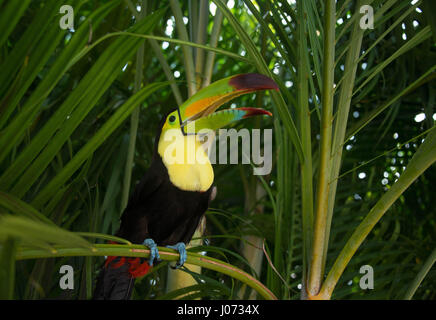 Toucan bird perched on palm tree in Mexico jungle - Stock Photo
