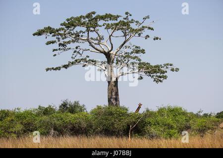 Giraffe under the shadow of a baobab at Kissama National Park – Angola - Stock Photo