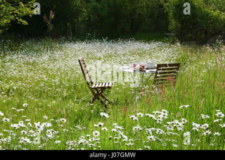 Two chairs and table laid for breakfast amongst a garden wildflower meadow. Two days after midsummer, with oxeye - Stock Photo