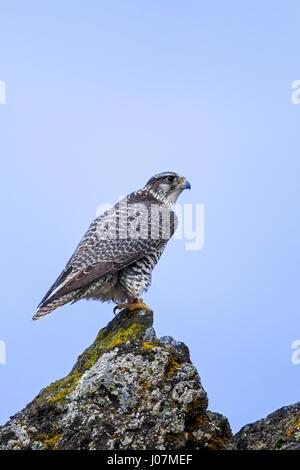 Gyrfalcon / gerfalcon (Falco rusticolus) perched on rock in winter - Stock Photo