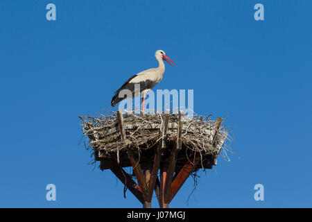 Solitary white stork (Ciconia ciconia) on man-made nest on wooden artificial platform for nesting - Stock Photo
