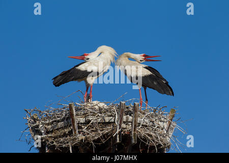 White stork (Ciconia ciconia) couple displaying on nest by bill-clattering and throwing their heads backwards - Stock Photo