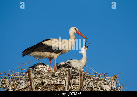 White stork (Ciconia ciconia) parent on man-made nest with two chicks - Stock Photo