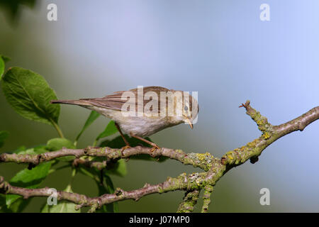 Willow warbler (Phylloscopus trochilus) perched in tree - Stock Photo