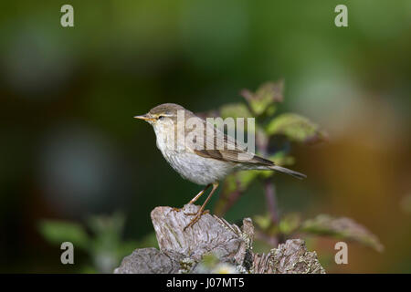 Willow warbler (Phylloscopus trochilus) perched on tree stump - Stock Photo