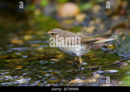 Willow warbler (Phylloscopus trochilus) drinking water from rivulet - Stock Photo