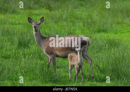 Red deer (Cervus elaphus) hind with fawn / calf in grassland - Stock Photo