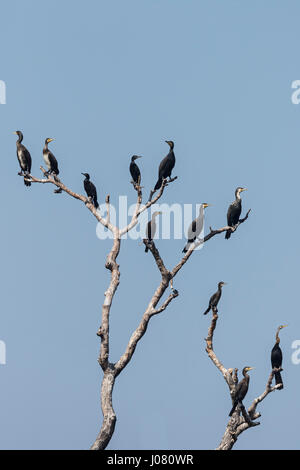 Oriental Darter (Anhinga melanogaster) and Little, Great and Indian Cormorant perching in tree - Stock Photo
