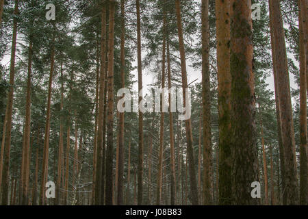 winter forest with trees with bark and the snow - Stock Photo