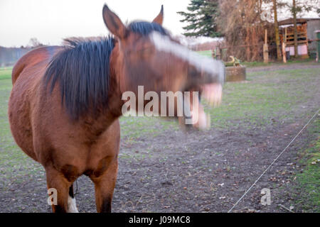 angry horse shouting at sunset in Germany europe - Stock Photo