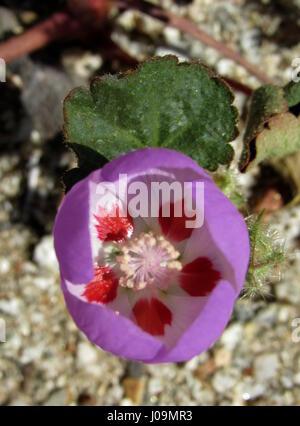 Desert five-spot - Eremalche rotudiflora flower purple with red spots desert flower of Southern California - Stock Photo