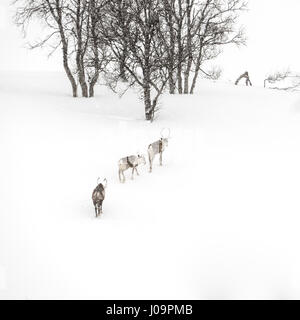 Three reindeer in the winter mountains of Northern Norway - Stock Photo