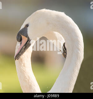 Mute swans making shape of heart with necks. Pair of swans (Cygnus olor)  forming heart-shaped space as part of - Stock Photo