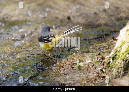 Grey wagtail (Motacilla cinerea) in river. Colourful bird in the family Motacillidae, showing long tail and yellow - Stock Photo