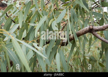 Gum tree eucalyptus leaves Northern Territory - Stock Photo