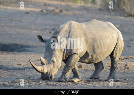 White rhinoceros (Ceratotherium simun), standing at whaterhole at sunset, Kruger National Park, South Africa - Stock Photo
