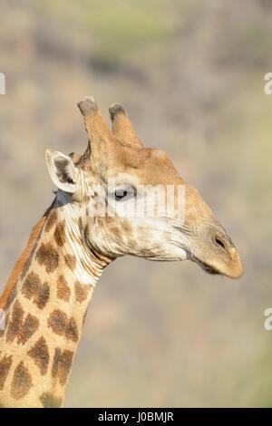Giraffe (Giraffa camelopardalis) portrait, close up, Kruger National Park, South Africa - Stock Photo