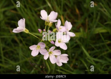 Cuckoo-flower / Lady's Smock  Cardamine pratensis in woodland near Bangor Co Down N Ireland - Stock Photo