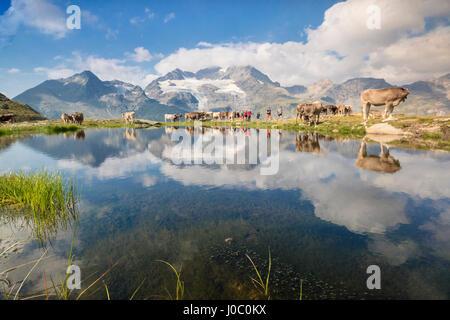 Cows grazing on green pastures surrounding the alpine lake, Val Bugliet, Canton of Graubunden, Engadine, Switzerland - Stock Photo