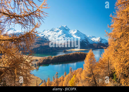 Colorful woods around Lake Sils framed by snowy peaks in the background, Maloja, Canton of Graubunden, Engadine, - Stock Photo