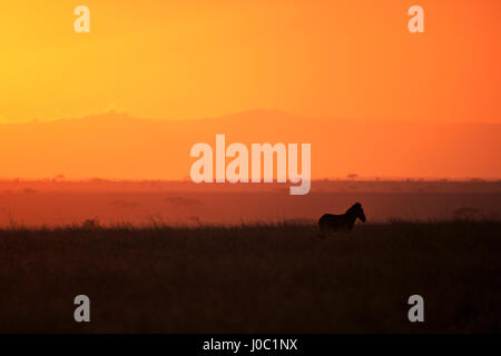 Burchell's zebra at sunrise (Equus quagga), Serengeti National Park, Tanzania - Stock Photo