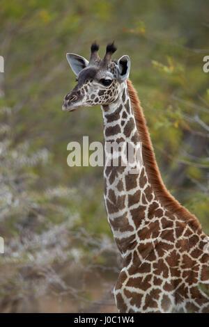 Young Masai giraffe (Giraffa camelopardalis tippelskirchi), Selous Game Reserve, Tanzania - Stock Photo