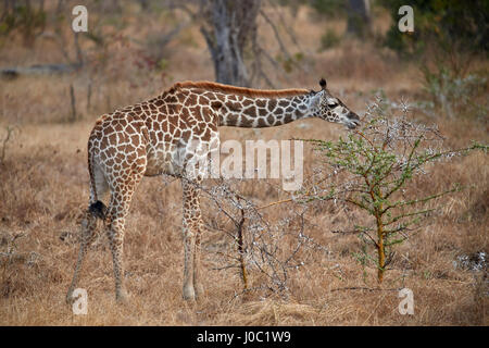 Young Masai giraffe (Giraffa camelopardalis tippelskirchi) feeding, Selous Game Reserve, Tanzania - Stock Photo
