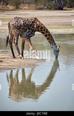 Masai giraffe (Giraffa camelopardalis tippelskirchi) drinking, Selous Game Reserve, Tanzania - Stock Photo