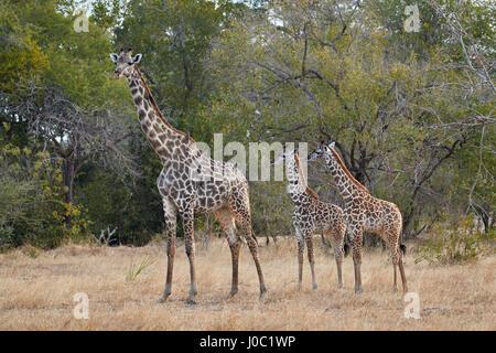 Masai giraffe (Giraffa camelopardalis tippelskirchi), adult and two juveniles, Selous Game Reserve, Tanzania - Stock Photo