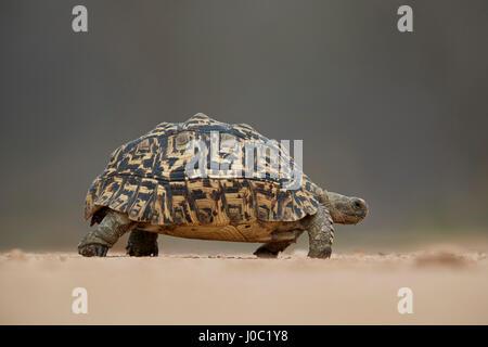 Leopard tortoise (Geochelone pardalis), Kruger National Park - Stock Photo