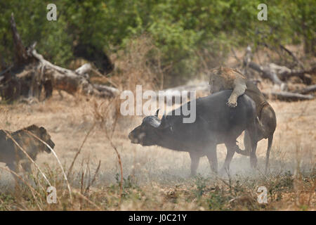 Two male lion (Panthera leo) attacking a Cape Buffalo (African Buffalo) (Syncerus caffer), Ruaha National Park, - Stock Photo
