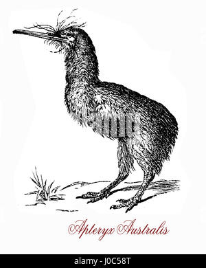 The southern brown kiwi, or tokoeka, (Apteryx australis) is found in New Zealand's South Island. The greek-derived - Stock Photo