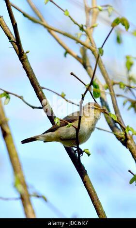 Willow Warbler (Phylloscopus trochilus) Kent, UK, April 2017 - Stock Photo