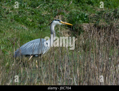 Grey Heron fishing in a reed bed - Stock Photo