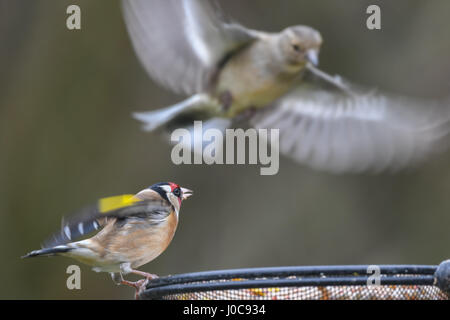 Goldfinch (Carduelis carduelis) defending territory on bird feeder from greenfinch (Carduelis chloris) in flight. - Stock Photo