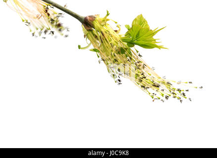 Flowering spring twigs of maple tree with young leaves in wind. Isolated on white background. - Stock Photo