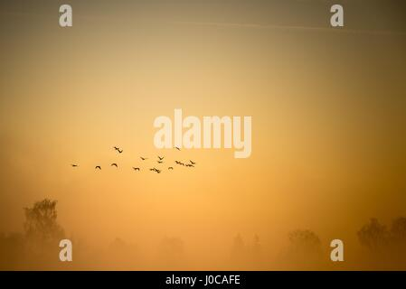 Horizontal photo with early morning landscape with flock of cormorants birds which flies over the pond and several - Stock Photo