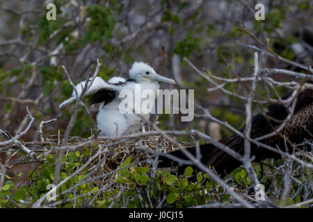 A Magnificent Frigatebird (Fregata magnificens) baby in a nest on North Seymour Island on the Galapagos Islands. - Stock Photo