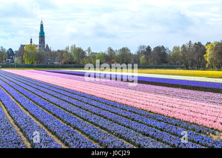 Dutch Spring Season: Colorful rows of flowering hyacinths with view on St. Agatha Church,  Lisse, South Holland, - Stock Photo