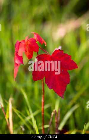 Red maple leaves on a sapling. - Stock Photo