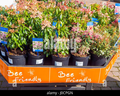 A display of Bee Friendly plants for sale in a Garden Centre here Pieris Japonica, 'Pink Passion' and Pieris Japonica - Stock Photo