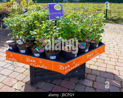 A display of Bee Friendly plants for sale in a Garden Centre here Flowering Currant Ribes sanguineum King Edward - Stock Photo