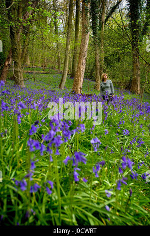 Preston, UK. 11th Apr, 2017. A glorious display of bluebells in the woods greets visitors to Lancashire Wildlife - Stock Photo