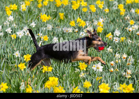 Aberdeen, Scotland, UK.  UK Weather.  12th April, 2017. Be-Be a rescue dog plays in spring sunshine among spring - Stock Photo