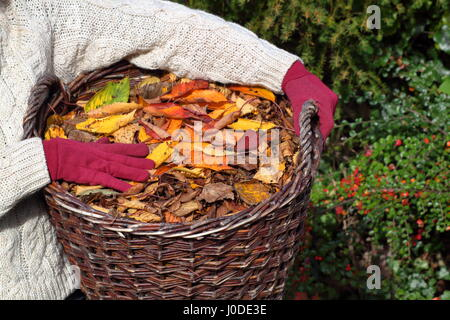 Female gardener carries ornamental cherry tree leaves (prunus) gathered from  English garden lawn in a basket with - Stock Photo