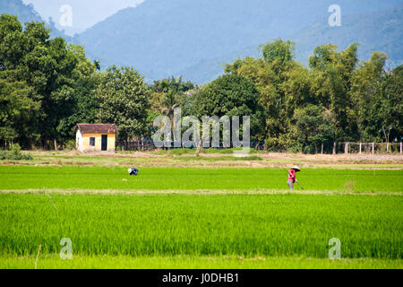 Horizontal view of people working in the paddy fields in Vietnam. - Stock Photo