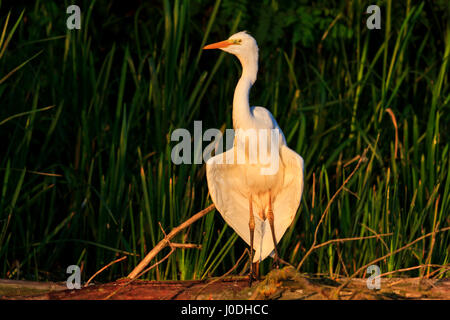white bird great egret Ardea alba dry wings in the morning rays,exclusive bird - Stock Photo