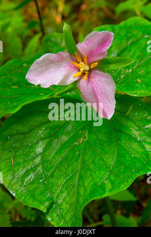Western trillium in bloom along Harris Ranch Trail, Siuslaw National Forest, Oregon - Stock Photo